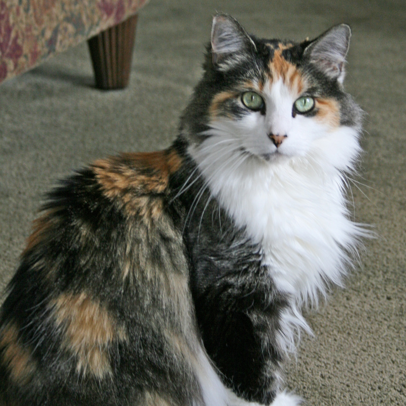 Black Calico Cat fluffy calico she-cat with